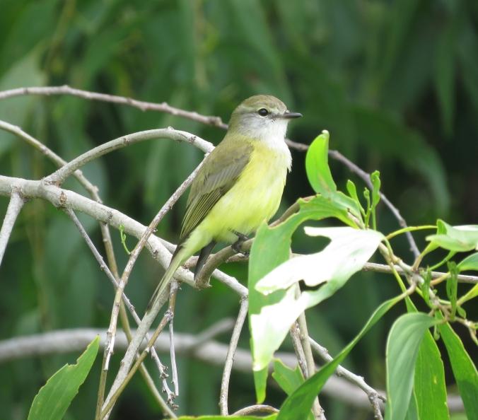 Lemon-bellied Flycatcher by James Zainaldin - La Paz Group
