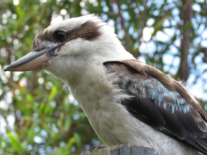Laughing Kookaburra by James Zainaldin - La Paz Group