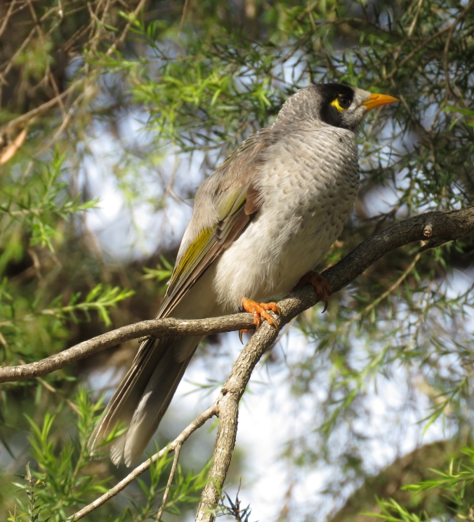 Noisy Miner by James Zainaldin - La Paz Group