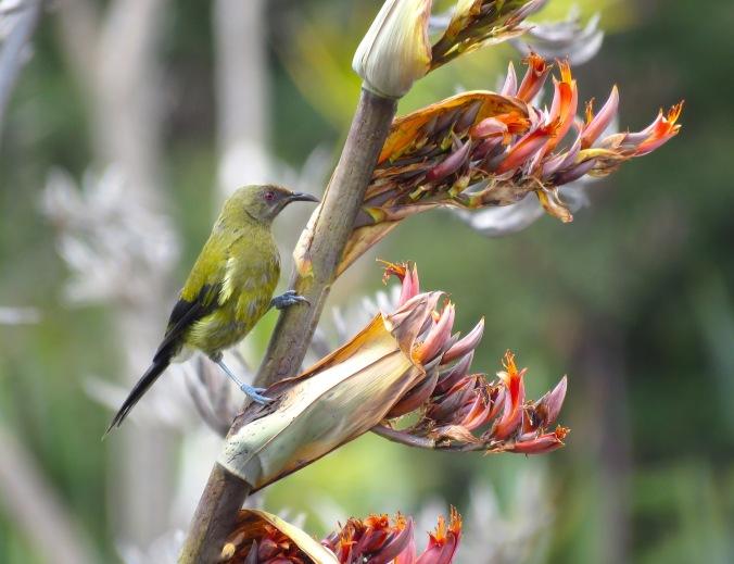 New Zealand Bellbird by James Zainaldin - La Paz Group