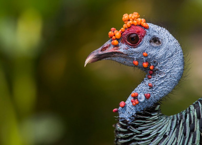 Ocellated Turkey by Leander Khil - La Paz Group