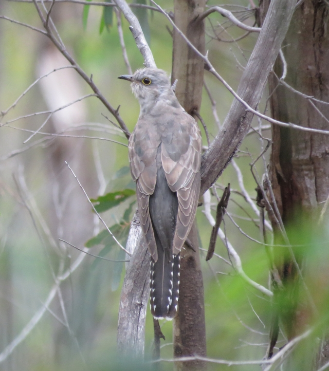 Pallid Cuckoo by James Zainaldin - La Paz Group