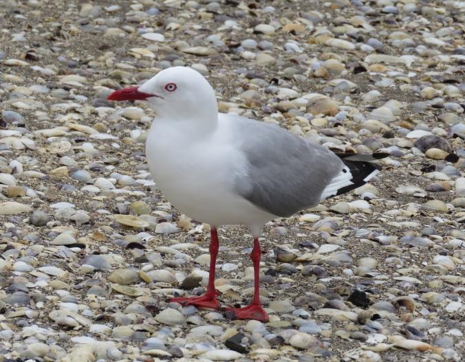 Red-billed Gull by James Zainaldin - La Paz Group
