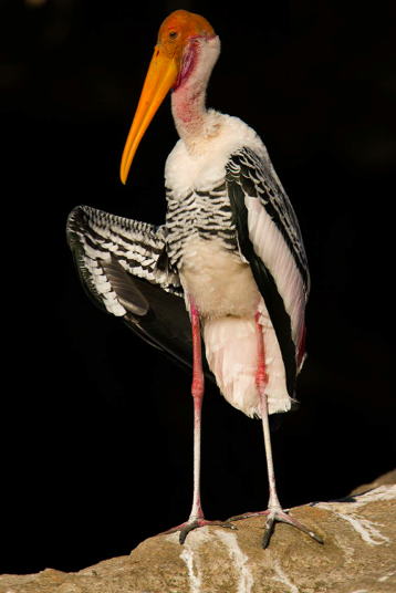 Painted Stork by Sudhir Shivaram - La Paz Group