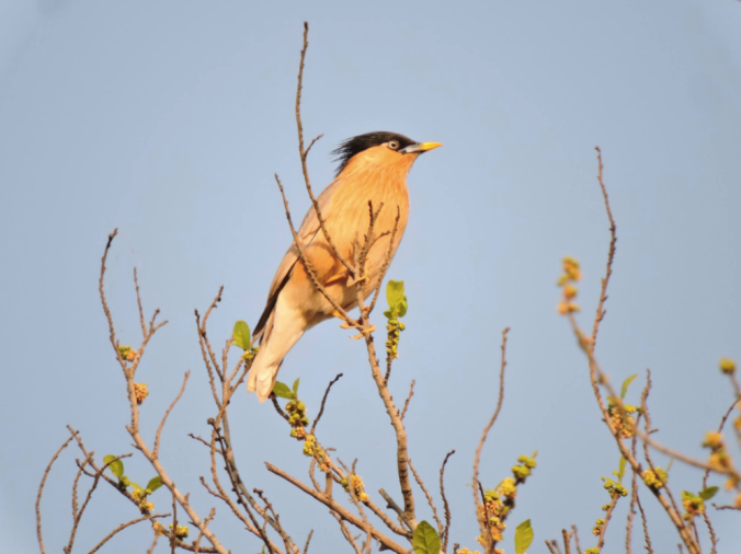 Brahminy Starling by Puneet Dhar - La Paz Group