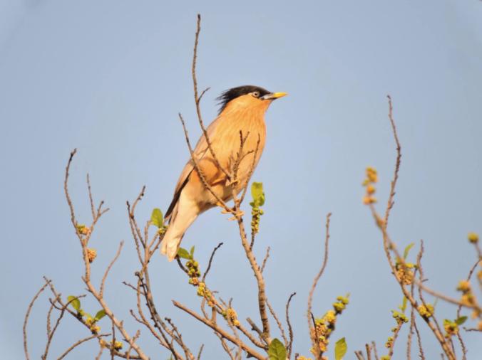 Brahminy Starling by Puneet Dhar - La Paz Group