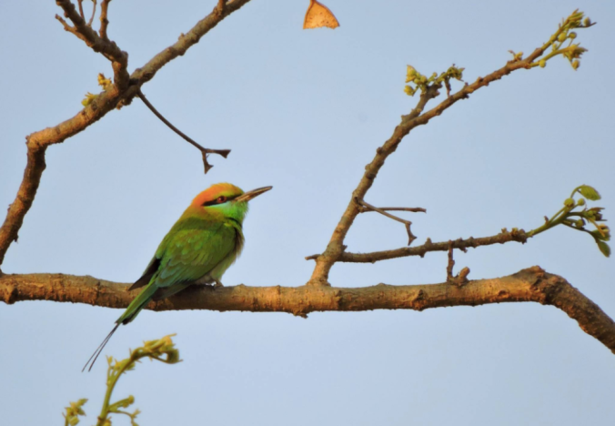 Small Green Bee-eater by Puneet Dhar - La Paz Group