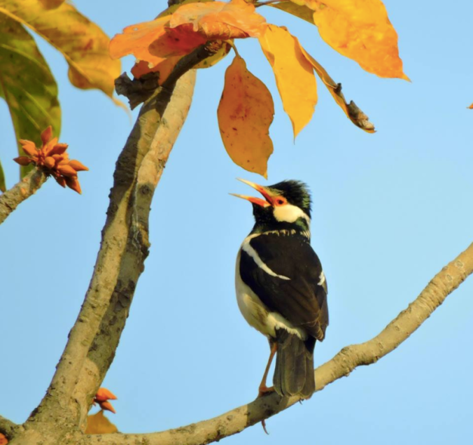 Asian Pied Starling by Puneet Dhar - La Paz Group