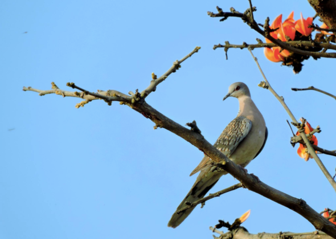 Spotted Dove by Puneet Dhar - La Paz Group