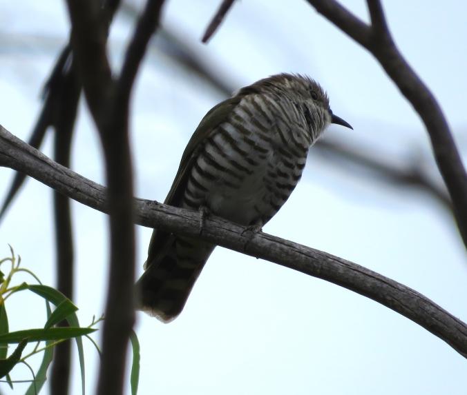 Shining Bronze-Cuckoo by James Zainaldin - La Paz Group