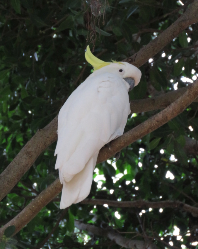 Sulphur-crested Cockatoo by James Zainaldin - La Paz Group