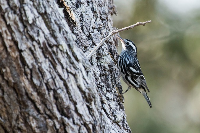 Black-and-white Warbler by Leander Khil - La Paz Group