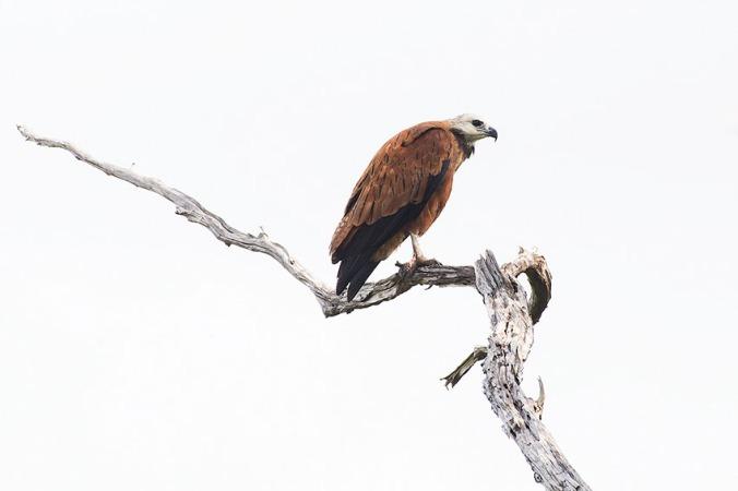 Black-collared Hawk by Leander Khil - La Paz Group
