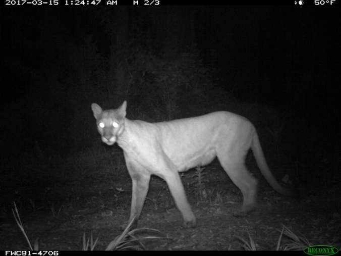 Filkins-The-Return-of-the-Florida-Panther.jpg