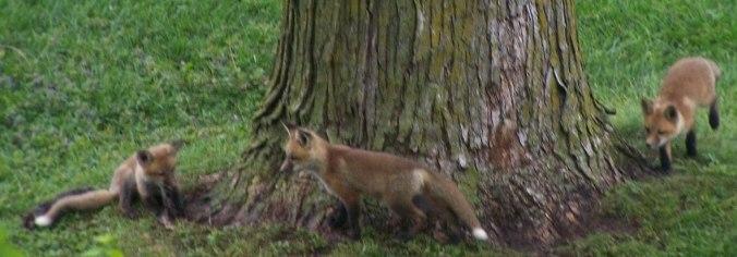 Five red fox kits around the tree.jpg