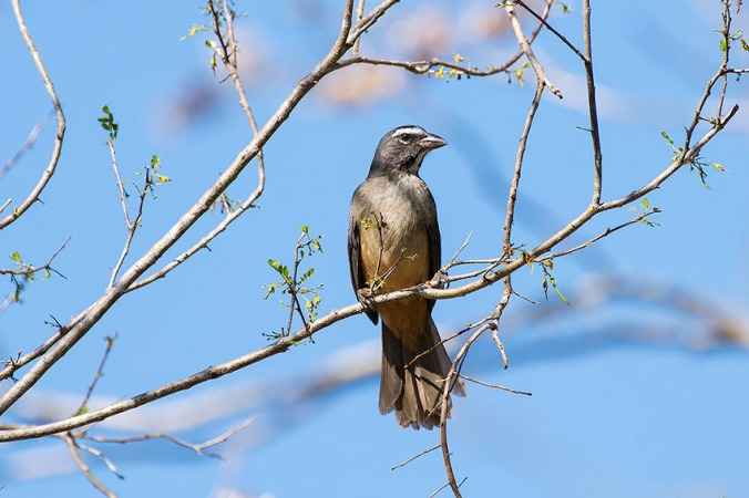 Grayish Saltator by Leander Khil - La Paz Group