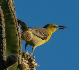 Hooded Oriole female