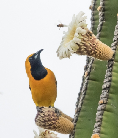 Hooded Oriole male