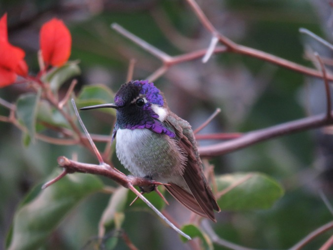 La Paz Group - Seth Inman. Costa's Hummingbird