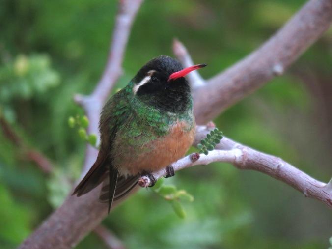 La Paz Group - Seth Inman. Xantus' Hummingbird