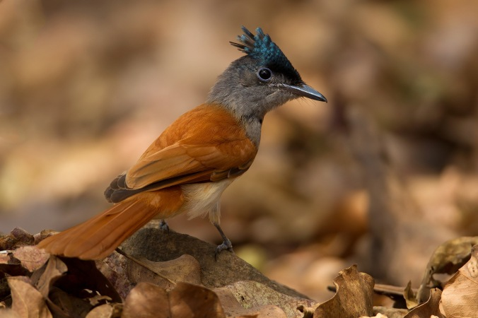 Paradise Flycatcher by Sudhir Shivaram - La Paz Group