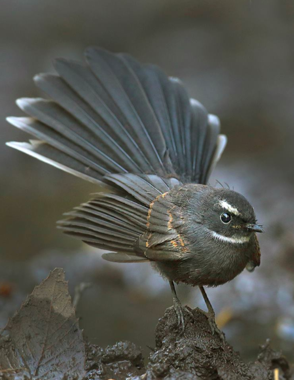 White-browed Fantail by Gururaj Moorching - La Paz Group