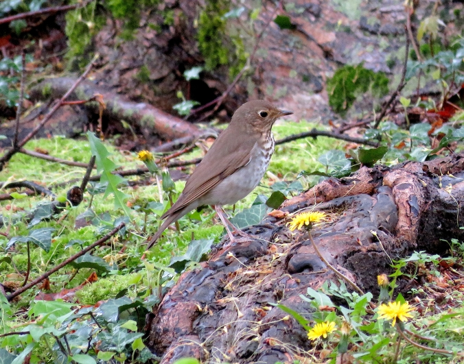 Swainson's Thrush by James Zainaldin - La Paz Group