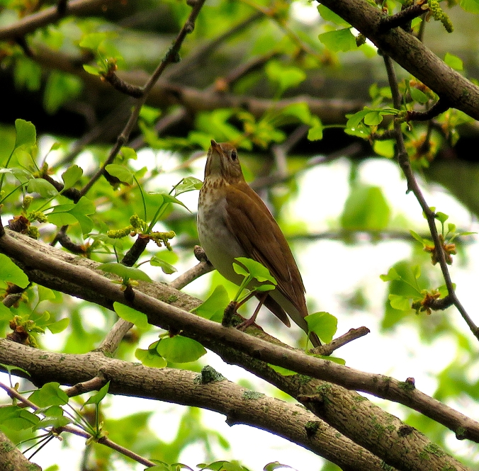 Veery by James Zainaldin - La Paz Group