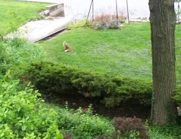 Vixen near the lake