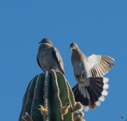 White-winged Dove pair