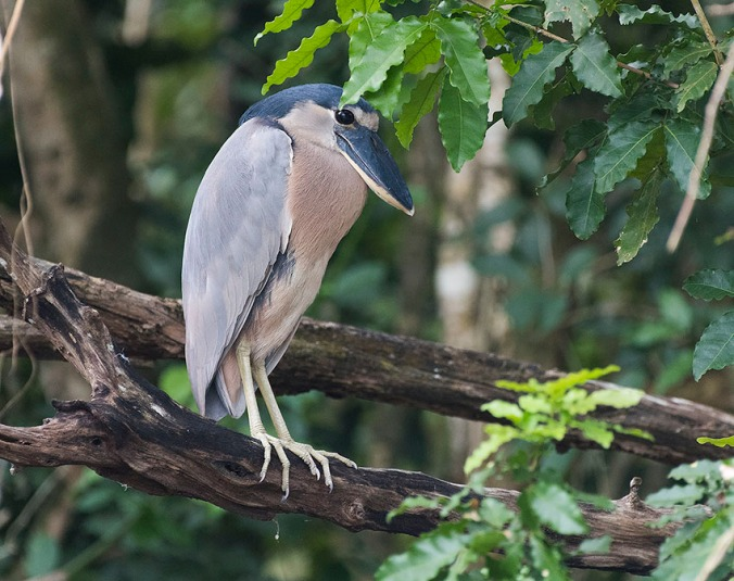 Boat-billed Heron by Leander Khil - La Paz Group