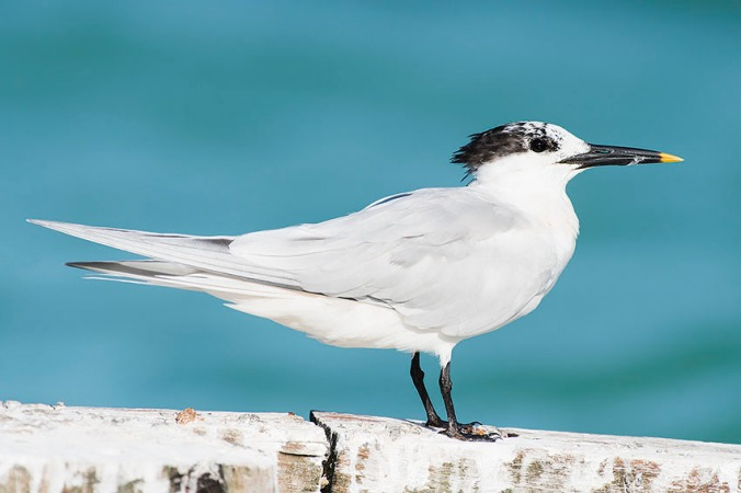 Cabot's Tern by Leander Khil - La Paz Group