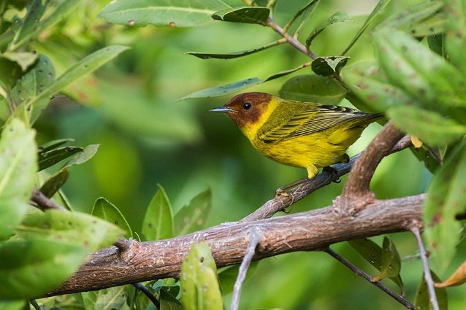 Mangrove Warbler by Leander Khil - La Paz Group