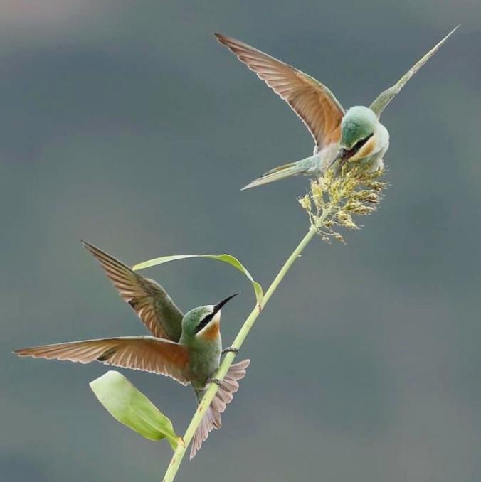 Blue-cheeked Bee-eater by Gururaj Moorching - La Paz Group