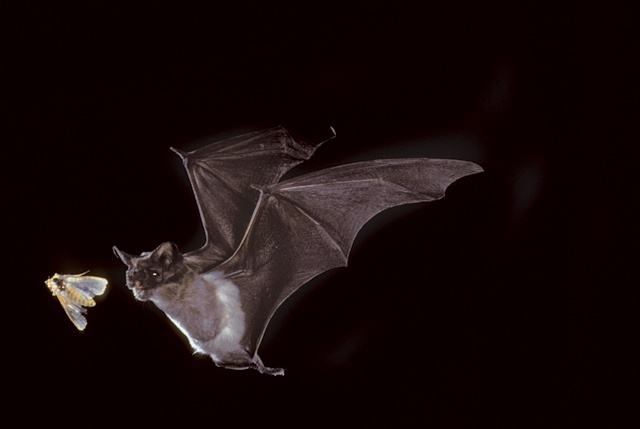slideshow_1307_bats_freetail