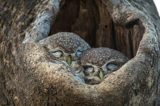 Spotted Owlets by Sudhir Shivaram - La Paz Group