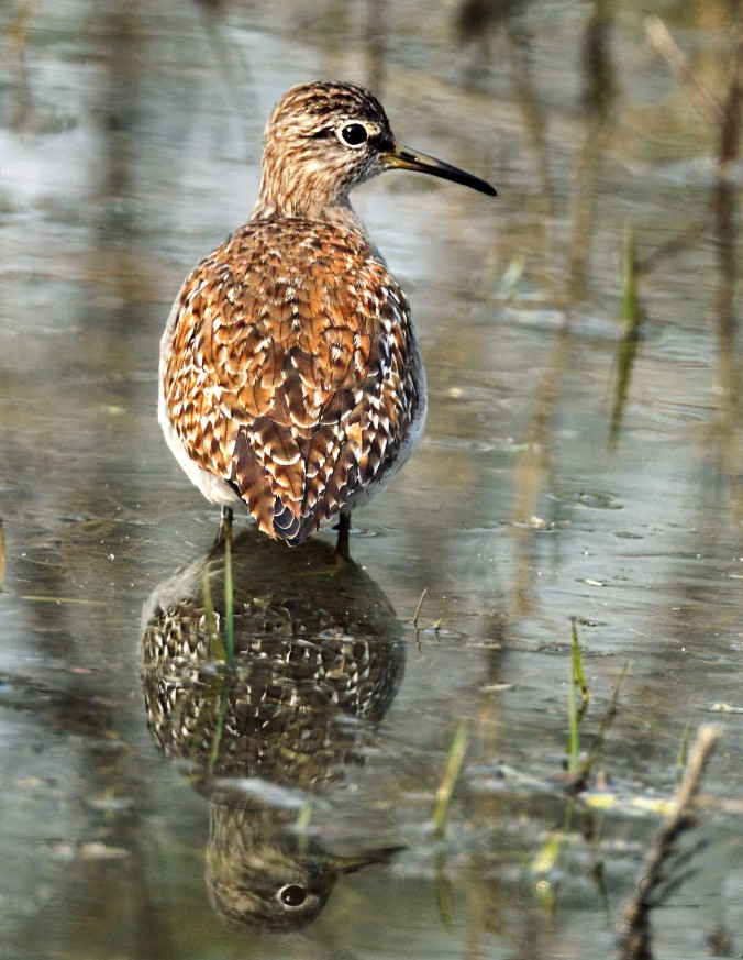 Wood Sandpiper by Gururaj Moorching - La Paz Group