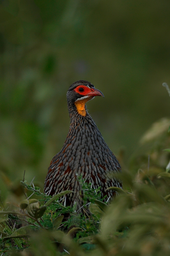 Yellow-necked Spurfowl by Sudhir Shivaram - La Paz Group