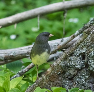Yellow Bellied Slate Colored Dark Eyed Junco