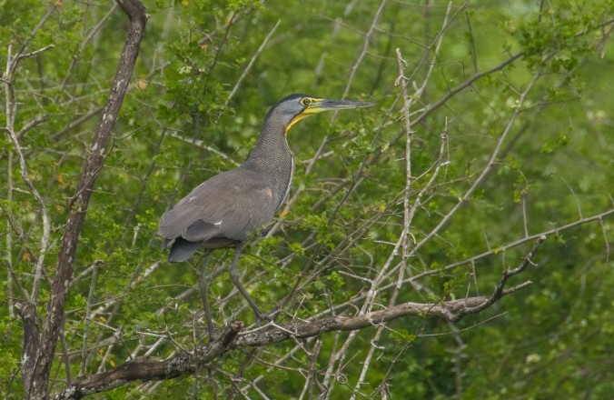 Bare-throated Tiger-Heron by Richard Kostecke - La Paz Group