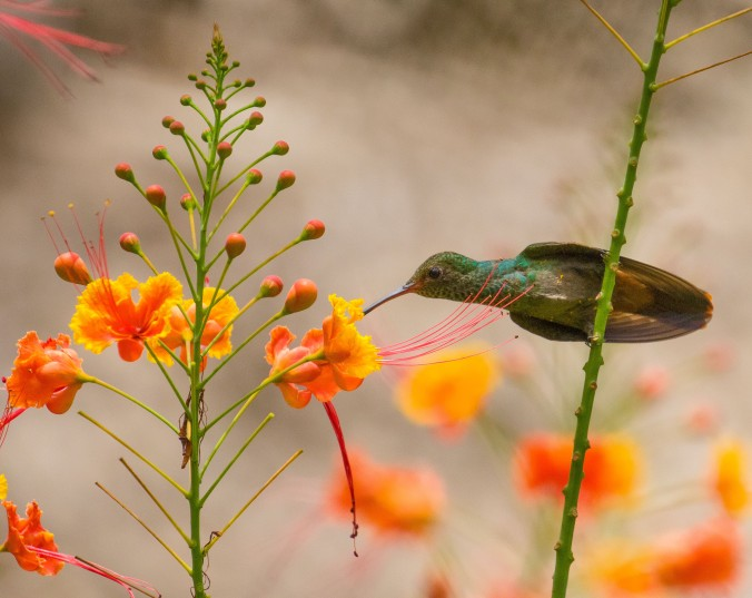 Rufous-tailed Hummingbird_Chan Chich_Orange Walk_BE_Chan Chich_Orange Walk_BE-201706270002