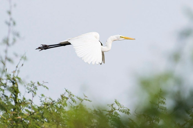 Great White Egret by Leander Khil - La Paz Group