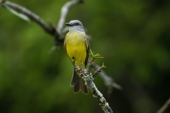Tropical Kingbird by Richard Kostecke - La Paz Group