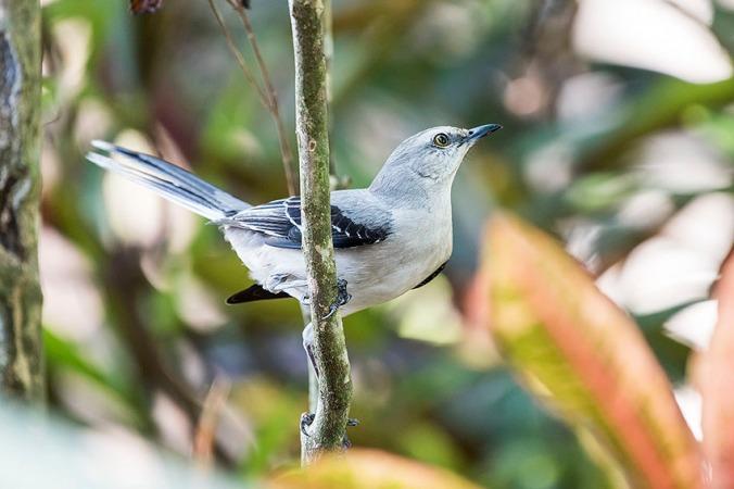 Tropical Kingbird by Leander Khil - La Paz Group