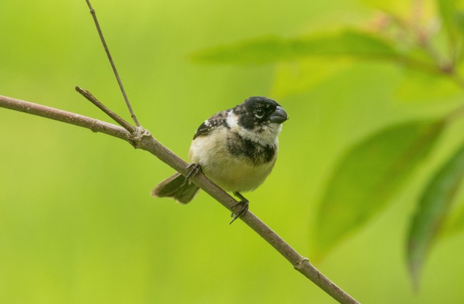 White-collared Seedeater by Richard Kostocke - La Paz Group