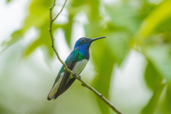 White-necked Jacobin by Richard Kostecke - La Paz Group