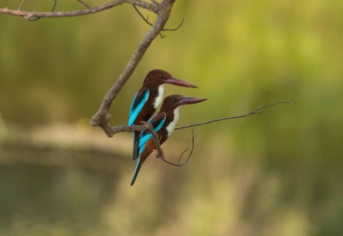 White-throated Kingfishers by Richard Kostecke - La Paz Group