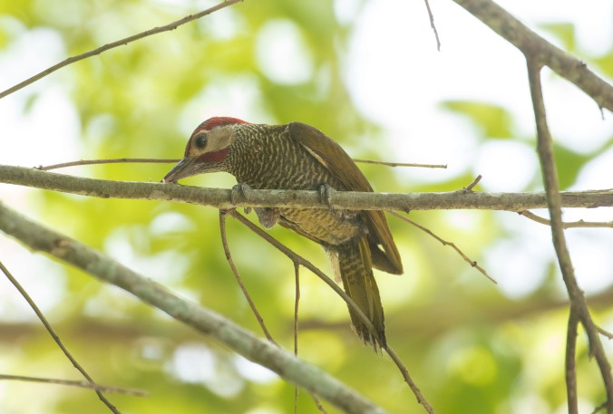 Golden-olive Woodpecker by Richard Kostecke - La Paz Group