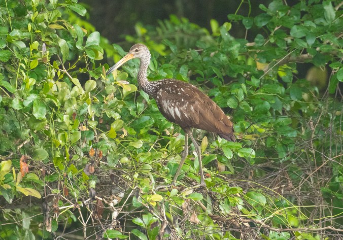 Limpkin by Richard Kostecke - La Paz Group