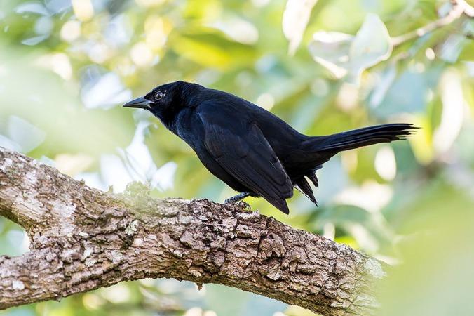 Melodious Blackbird by Leander Khil - La Paz Group